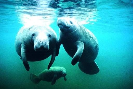 Вроцлав: В зоопарке родился ламантин.